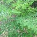 moringa_tree1