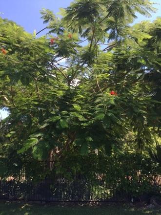 poinsettia_tree_on_spare_harvest2
