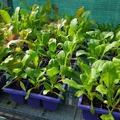 veggie_seedlings1