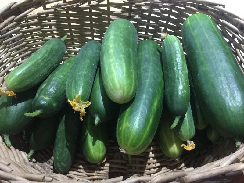 A-glut-of-cucumbers
