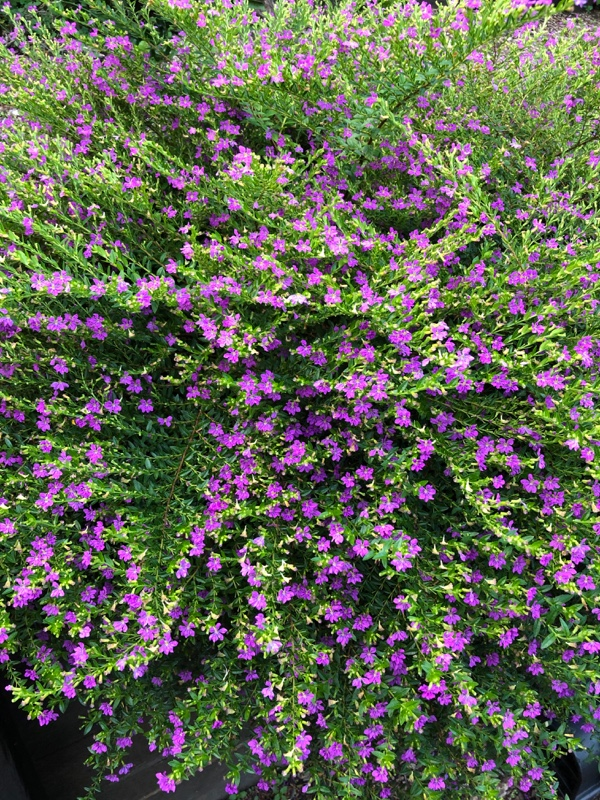 Cuphea-Bush