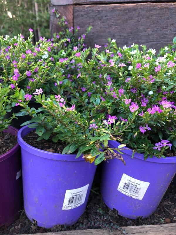 Cuphea-Plants